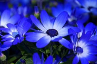 цинерария, flowers, flower, flora