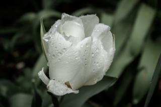 Tulip, white, drops