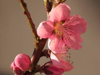 pink, Bud, petals, spring, flowering