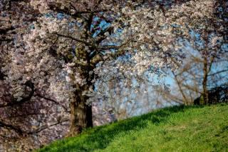 весна, дерево, цветение, ветки