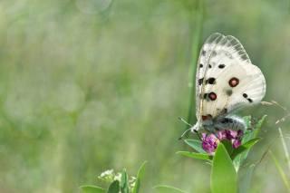 природа, літо, квітка, конюшина, метелик, макро