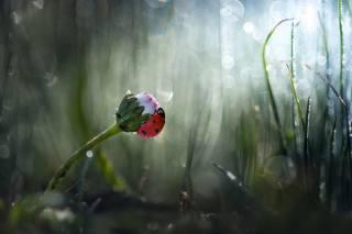 цветок, трава, природа, божья коровка, жук, боке, маргаритка, Roberto Aldrovandi