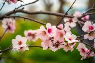природа, весна, ветки, цветы, вишня, цветение