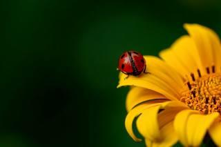 makro, květina, hmyz, brouk, beruška