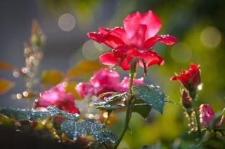 květiny, růže, poupata, listy, voda, kapky, makro, boke