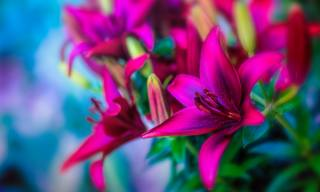 flowers, buds, Lily, macro