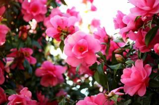 shrub, flowers, Camellia