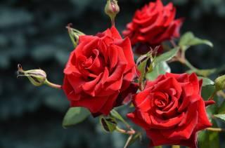 příroda, léto, květiny, růže, poupata
