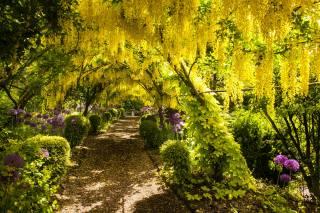 žluté, květiny, vistárie, stezka, park