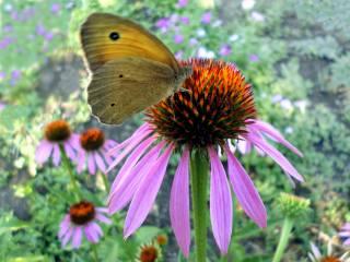 липень, метелик, эхинацея