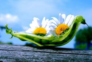 лето, цветы, ромашки, горох, стручок, горошины, смайл