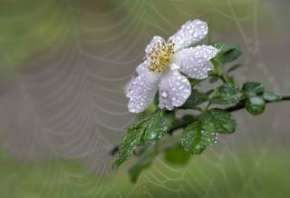 macro, flower, briar, drops, water, web