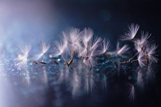 macro, dandelion, umbrellas, seeds, drops, water, reflection