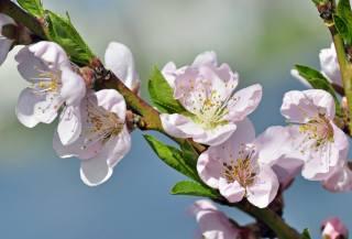 природа, весна, ветка, цветы, персик, цветение