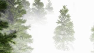 ель, туман, крона