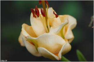 květina, růže