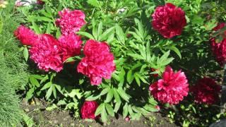květiny, Pivoňky, цветут во дворе