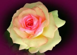 světlo, noc, růže