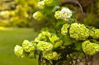 příroda, košík, větvičky, kalina, květenství
