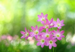 příroda, boke, květiny, зефирантес