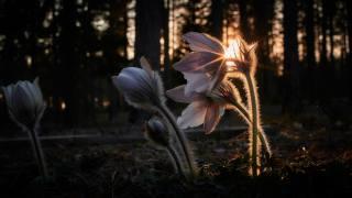 природа, весна, лес, деревья, первоцветы, цветы, сон-трава, закат, солнце, лучи