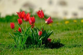 příroda, jaro, trávník, рава, květiny, tulipány