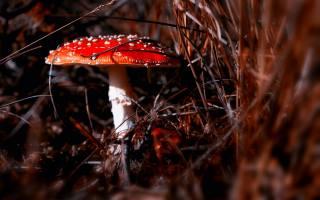 mushroom, grass, autumn, macro