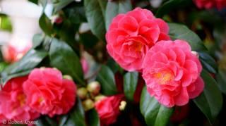 kvetoucí, listy, okvětní lístky, bud, něha, Růžový, camellia, flowering, listy, okvětní lístky, BUD, tenderness, růžové, camellia