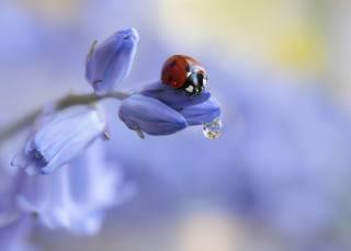 Rina Barbieri, nature, flower, buds, beetle, ladybug, drop, water, macro