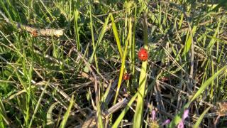 трава, зеленый, макро, божие коровки, сухая трава