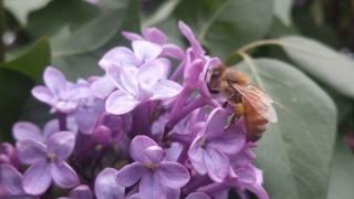 природа, весна, цветы, сирень, листья, пчела, опыление, макро