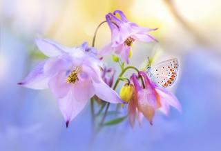 природа, макро, цветы, аквилегия, бабочка