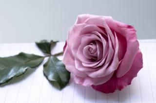 роза, листья, боке, фон