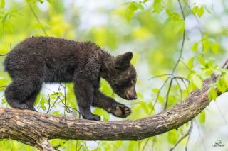 Zvíře, dravec, Medvídek, mládě, příroda, strom, větvičky, listy