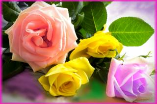 růže, Barvy, náladu