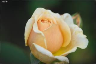 květina, роза и другие