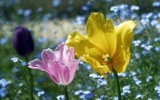 tulipány, dva, růžová, žlutá, květiny