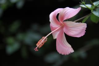 hibiscus, růžová, okvětní lístky