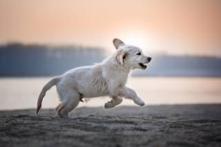 Zvíře, pes, pes, štěně, mládě, běhat, příroda, břeh, písek, ráno