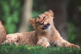 Zvíře, dravec, lion, mládě, příroda