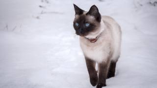 тайская кошка, modré oči, sníh