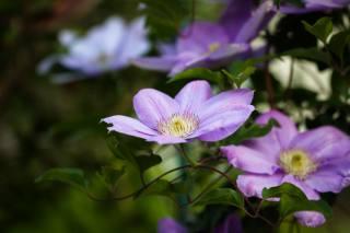 příroda, květiny, plamének, ломонос, listy, makro