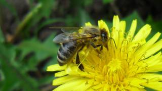 macro, dandelion, bee, bee