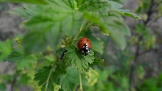 macro, ladybug