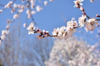 ветка, персик, цветение