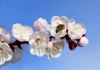 ветка, цветение, пчела, весна