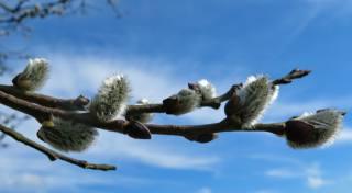 верба, почки, котики, весна