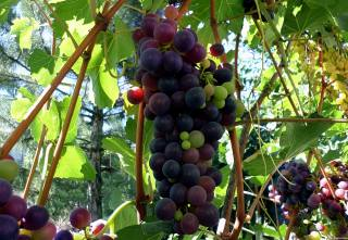 grapes, day, August