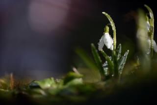 природа, весна, первоцвет, подснежник, капли, вода, макро