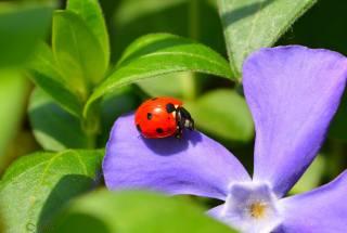 mika, природа, макро, цветок, листья, насекомое, жук, божья коровка